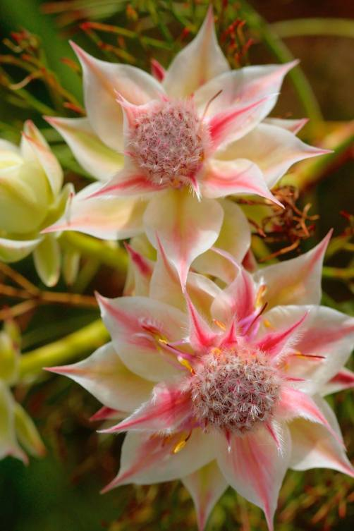"""Pretty n Pink"" Blushing Bride Protea"