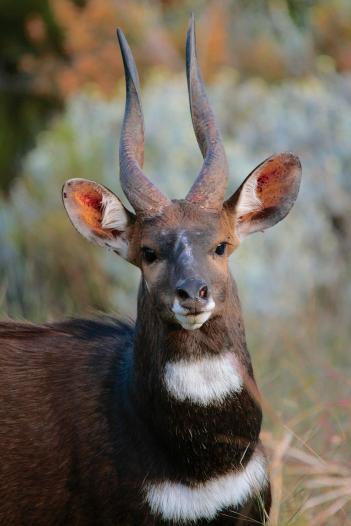 Bushbuck Male 2