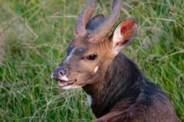 Bushbuck Male 3