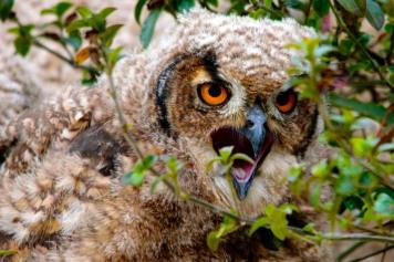 Cape Eagle Owlet 1