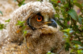 Cape Eagle Owlet