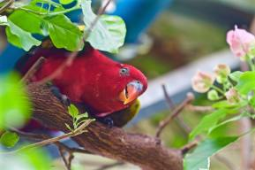 Chattering Lory from Indonesia