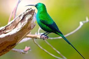 Malachite Sunbird 1