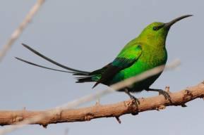 Malachite Sunbird 3