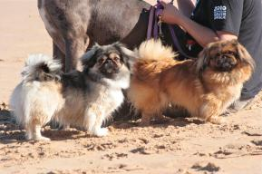 Pekes on the Beach