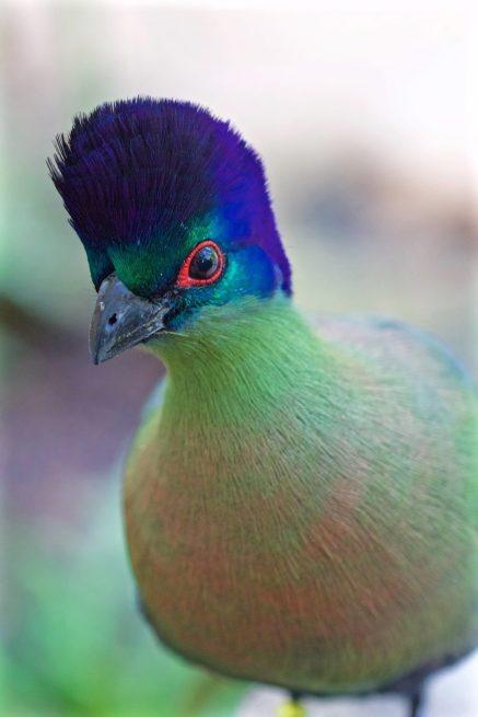 Purple Headed Loerie