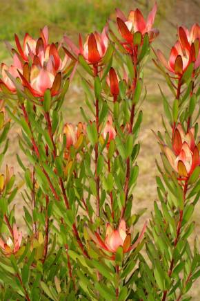 Safari Sunrise Protea