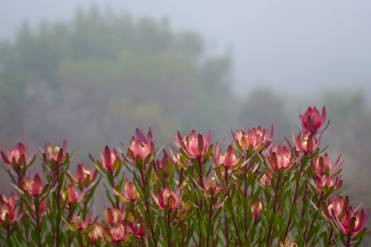 Safari Sunrise Proteas in the mist