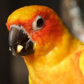 Sun Conure - Close-Up