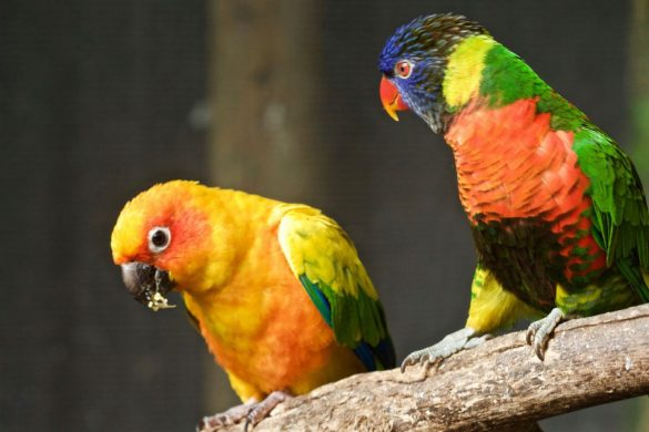 The Lorikeet dominating