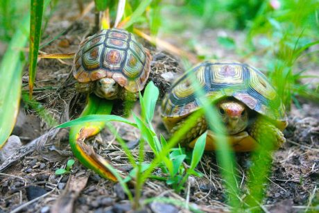 Tortoises in my garden