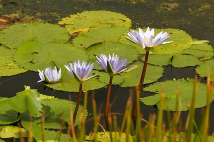 Water Lillies 2